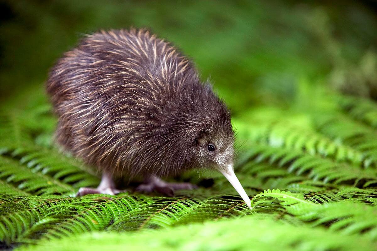"""New Zealand còn có một tên gọi khác là """"xứ sở Kiwis"""""""